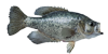 black-crappie-icon