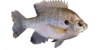coppernose-bluegill-icon